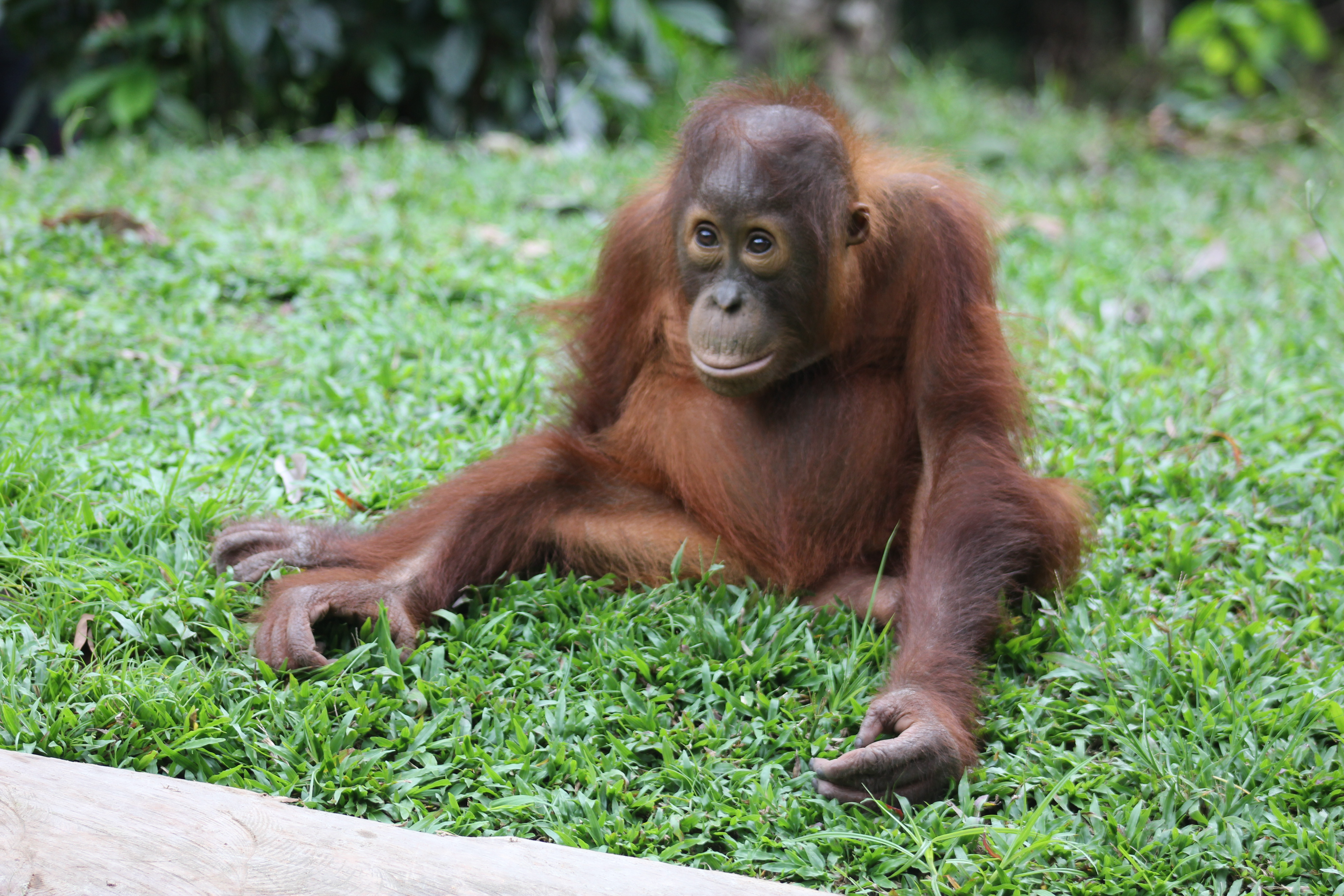 Orangutan Tanjung Putting National Park & Dayak Adventure