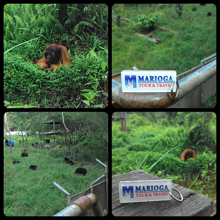 (One Day Tour) ORANGUTAN - CANOPY BRIDGE - MANGROVE